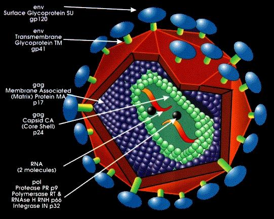 common cold virus structure. diagram. common cold virus
