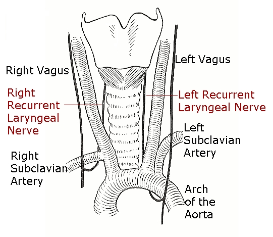 Recurrent Laryngeal Nerves (RLNs)